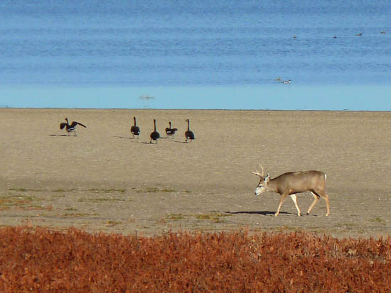 A mule deer wanders the receding winter shoreline of Barr Lake
